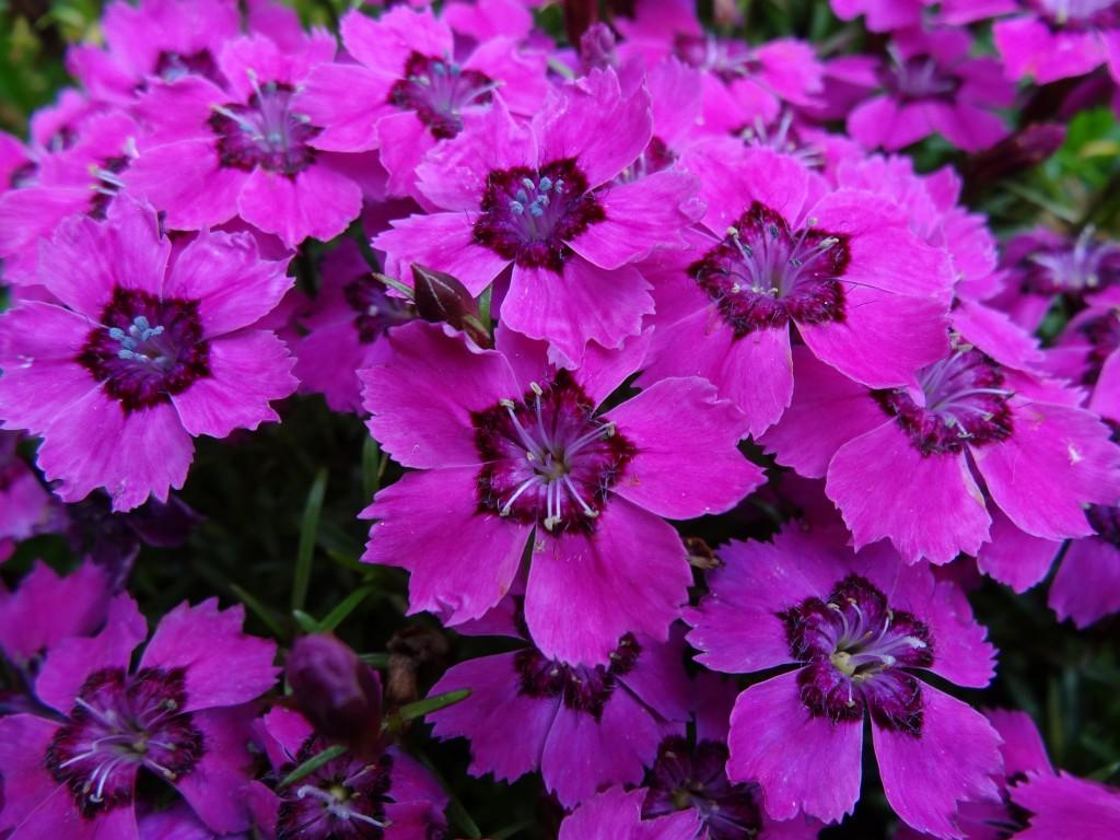 Dianthus alpinus 'Joans Blood'